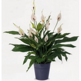 Spathiphyllum interflora wikifleurs for Catalogue plantes vertes