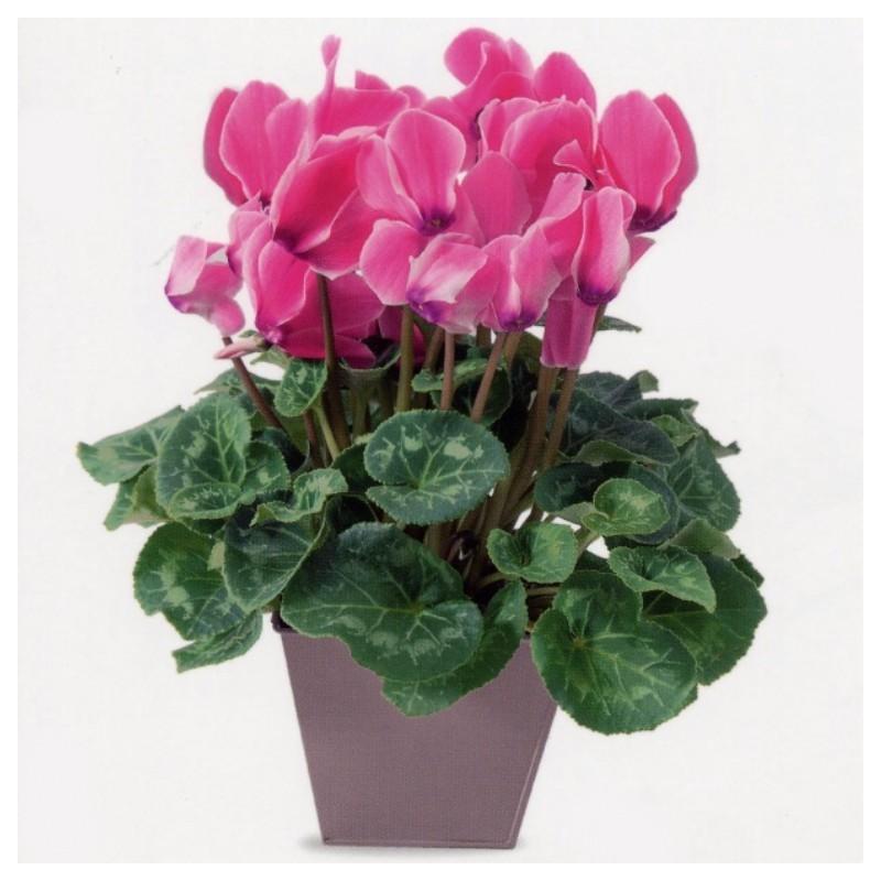 Cyclamen corse interflora wikifleurs for Envois fleurs