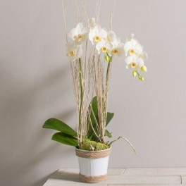 LILOU ORCHIDEES PHALAENOPSIS BLANCHES