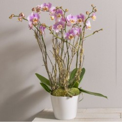 DIVINE ORCHIDEES PHALAENOPSIS ROSE