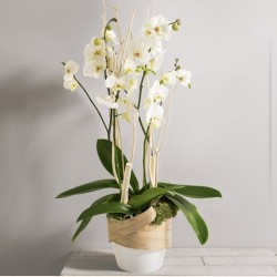 GLAMOUR ORCHIDEES PHALAENOPSIS BLANCHES