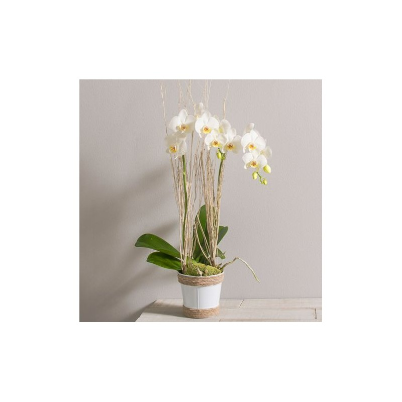 lilou orchid es phalaenopsis blanches corse interflora wikifleurs. Black Bedroom Furniture Sets. Home Design Ideas