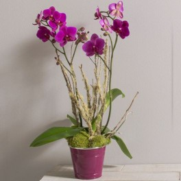 LOLA ORCHIDEES PHALAENOPSIS CORSE
