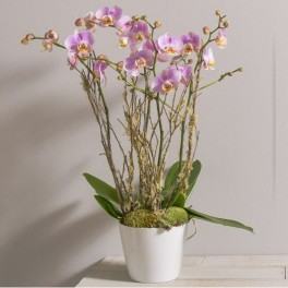 DIVINE ORCHIDEES PHALAENOPSIS CORSE