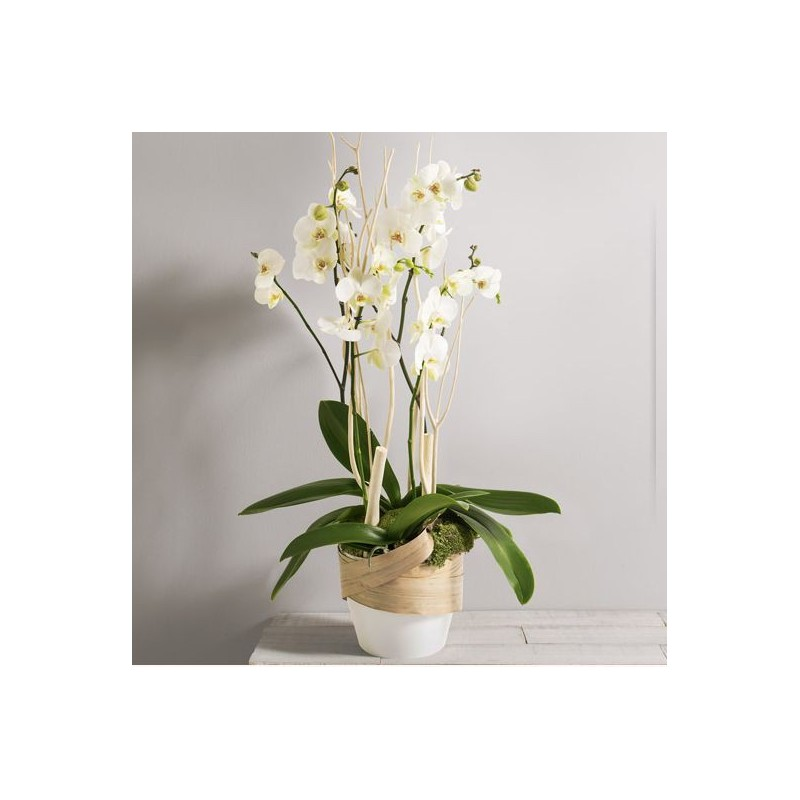 glamour orchid es phalaenopsis blanches corse interflora wikifleurs. Black Bedroom Furniture Sets. Home Design Ideas