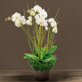COUPE ORCHIDEE DEUIL GRACE