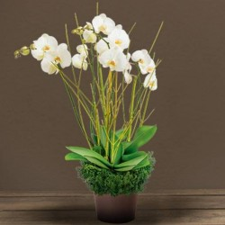 COUPE ORCHIDEE DEUIL GRACE DOM-COM